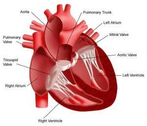 Thrombosis of the Heart