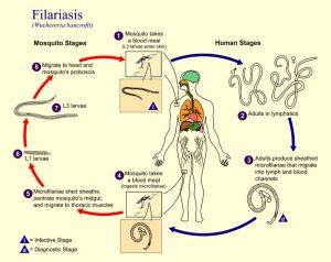 filaria2
