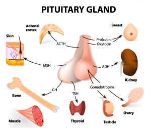 pituitary-gland